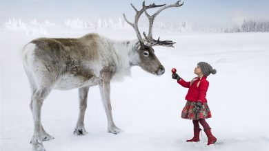Photo of The Very Real Reindeer and How They Became Associated With Christmas
