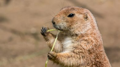 Photo of Prairie Dog Chatter: The Science Behind a New Language